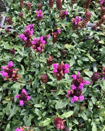 Prunella grandiflora 'Inshriach Ruby'