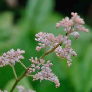 Rodgersia aesculifolia - bloem