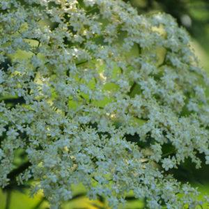 Sambucus 'Laciniata' - bloem