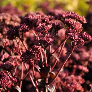 Sedum 'Purple Emperror' - bloem