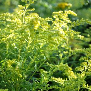 Solidago 'Strahlenkrone' - bloem