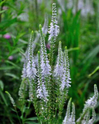 Veronica longifolia 'White Arrow'