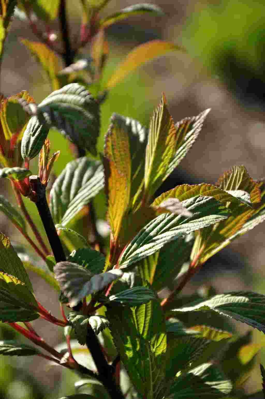 Viburnum bodnantense 'Dawn' - blad
