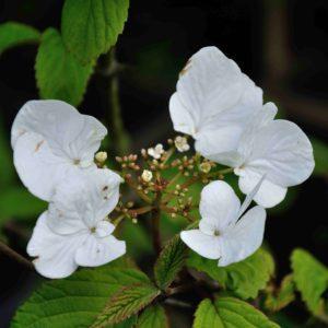 Viburnum plicatum 'Watanabee'